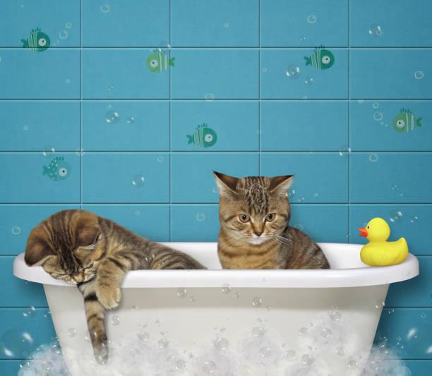 Kittens take a bath picture id950764018?b=1&k=6&m=950764018&s=612x612&w=0&h=1ge3lnb5o2o8r lzxj i8ls2cmqyicpu 6ig8bd0dys=