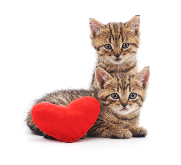 Kittens with toy heart. Kittens with toy heart isolated on a white background. kitten cute valentines day domestic cat stock pictures, royalty-free photos & images