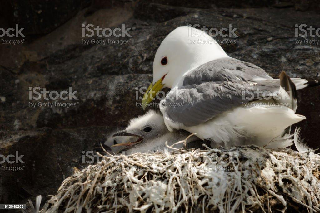 Kittiwake Adult with Chick stock photo