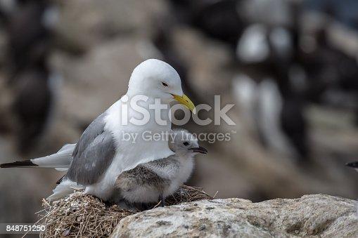 Kittiwake (Rissa tridactyla) nesting with young chick