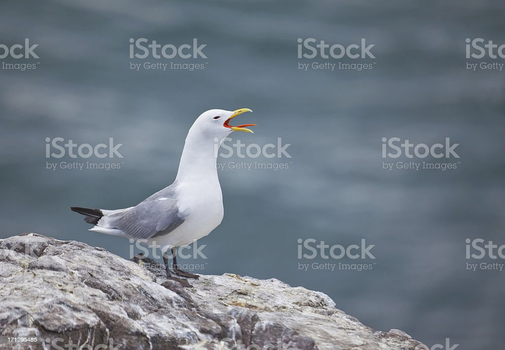 Kittiwake (Rissa tridactyla) calling; defocussed sea background stock photo
