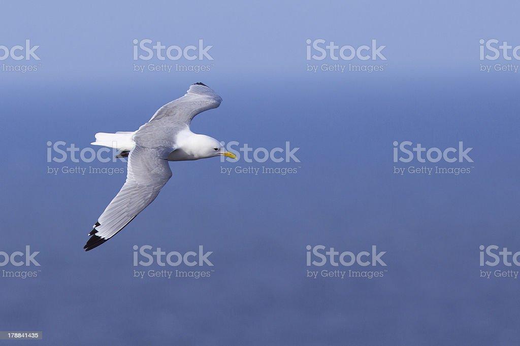 Kittiwake in flight stock photo