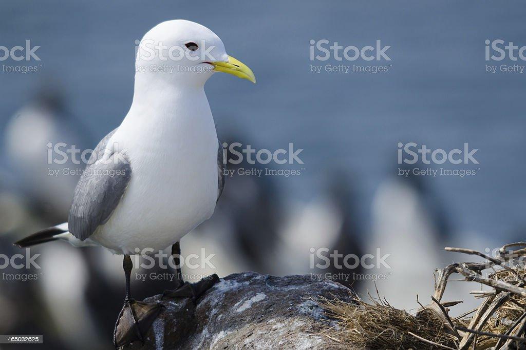 Andorinha-do-mar - foto de acervo
