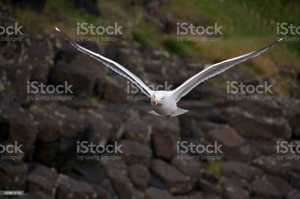 Andorinha-do-mar (Larus tridactyla)-Escócia - foto de acervo