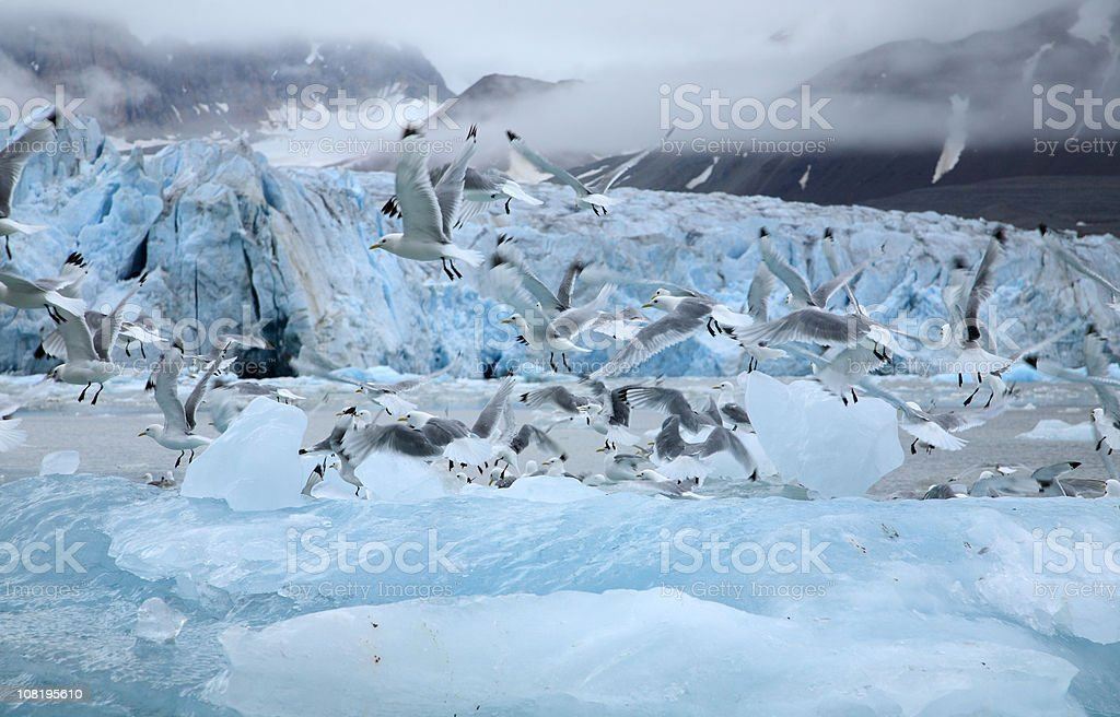 Kittiwakes voando no Ártico - foto de acervo