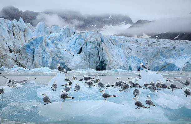 Kittiwakes In The Arctic stock photo