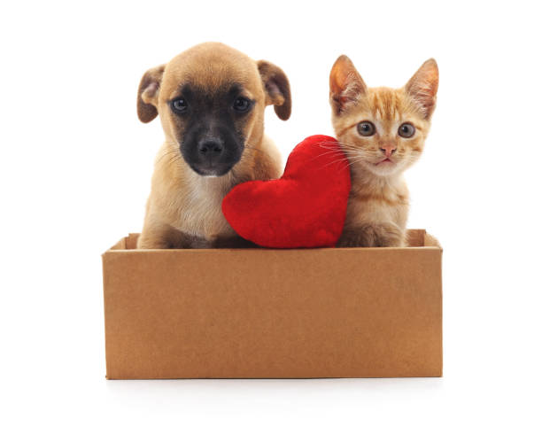 Kitty and puppy in the box. Kitty and puppy in the box isolated on a white background. kitten cute valentines day domestic cat stock pictures, royalty-free photos & images
