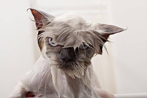 kitty bath time - islak stok fotoğraflar ve resimler