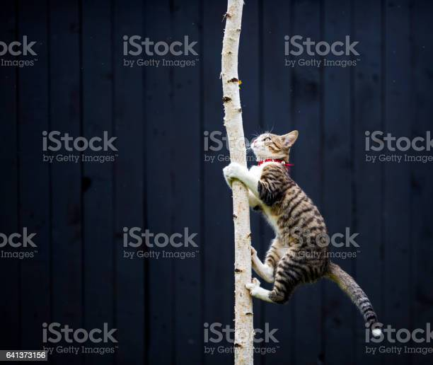 Kitty climbing on tree picture id641373156?b=1&k=6&m=641373156&s=612x612&h=bjyufulhgmcsvmcjjynujs35xcxlqipjqkivmfme8vo=