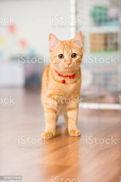 Kitty red color in a red collar with a suspension walks around the picture id1076272426?b=1&k=6&m=1076272426&s=612x612&h=tolkack2wfdjhh2xxj 1k9zzusoutil99czp3uj5oiu=