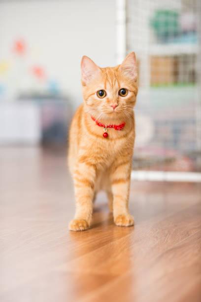 小貓紅色的紅色在一個紅色的衣領與懸掛走在房間周圍 - 衣領 個照片及圖片檔