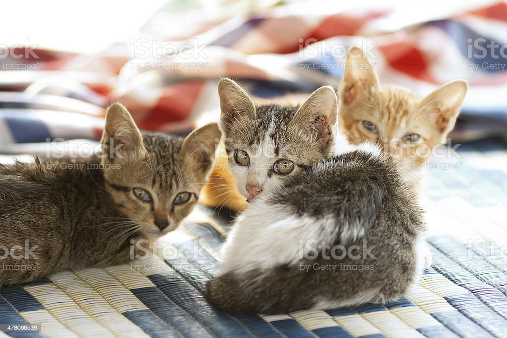 kitty triple royalty-free stock photo