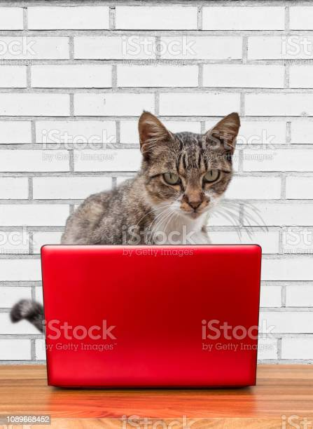 Kitty works on a laptop picture id1089668452?b=1&k=6&m=1089668452&s=612x612&h= 0mkna5iisd fqmcuc0kiwy0umyihmqcvjaavuad27y=