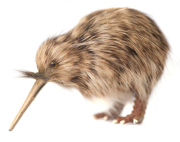 ave kiwi - kiwi imagens e fotografias de stock