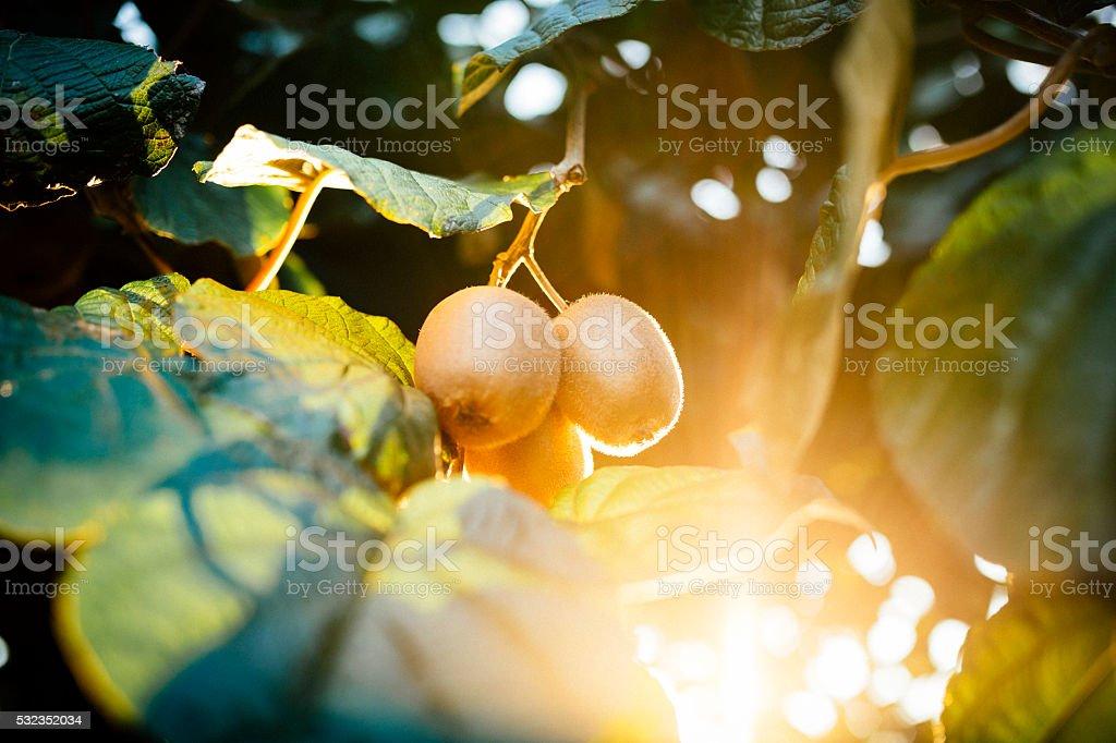 kiwi fruit on branch stock photo