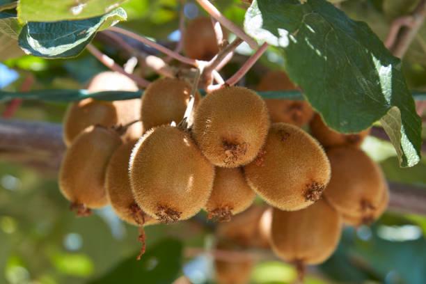 Detalle de frutos de kiwi y de la planta en un día soleado de verano - foto de stock