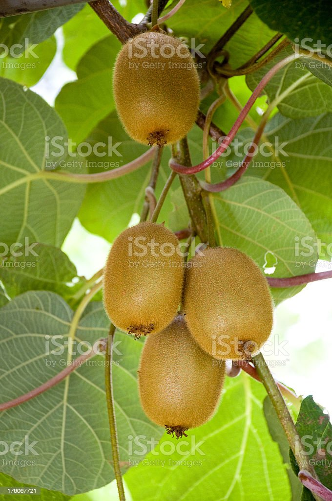 Kiwi fruits on branch royalty-free stock photo