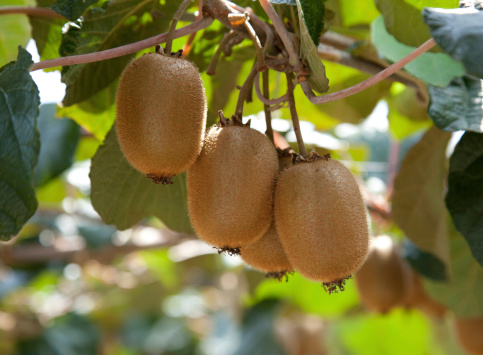 growing-up of kiwifruit