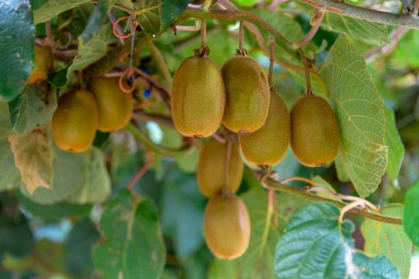 kiwifruit - kiwi imagens e fotografias de stock