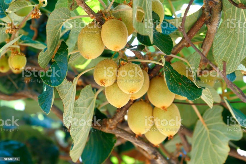 Kiwifruit tree stock photo