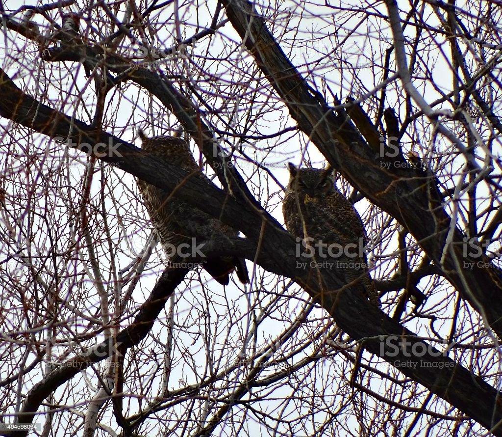 Klamath Basin Owls stock photo