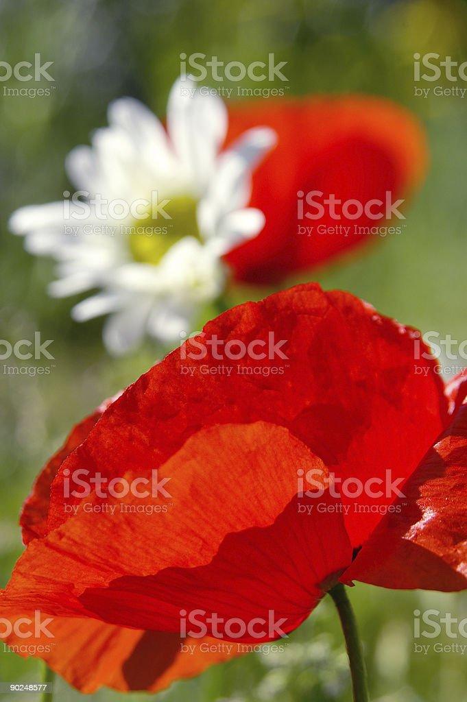 Klatschmohnblüte im Gegenlicht royalty-free stock photo