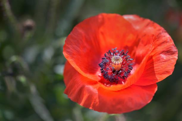 Klatschmohnblüte – Foto