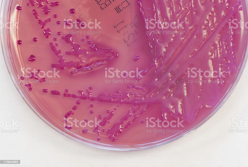 Klebsiella pneumoniae royalty-free stock photo