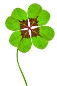 Kleeblatt mit vier Blättern