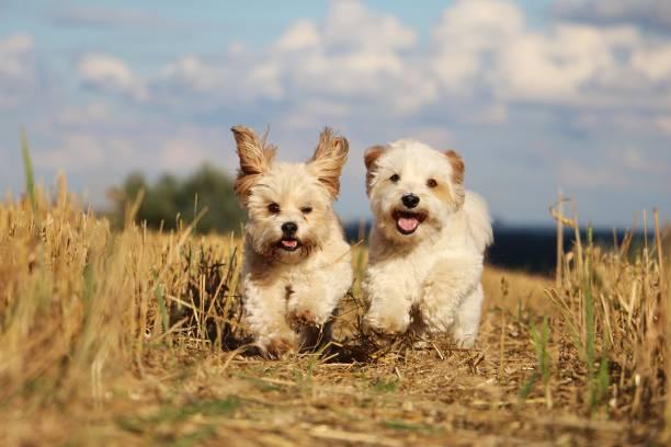 Kleine Hunde Im stoppelfeld – Foto