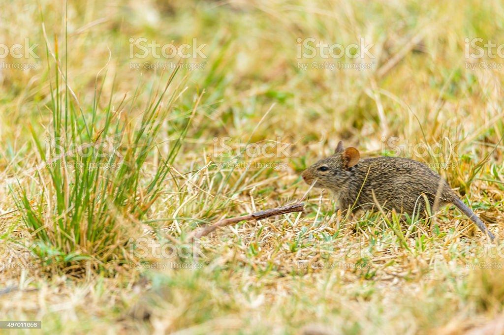 Kleine Maus stock photo