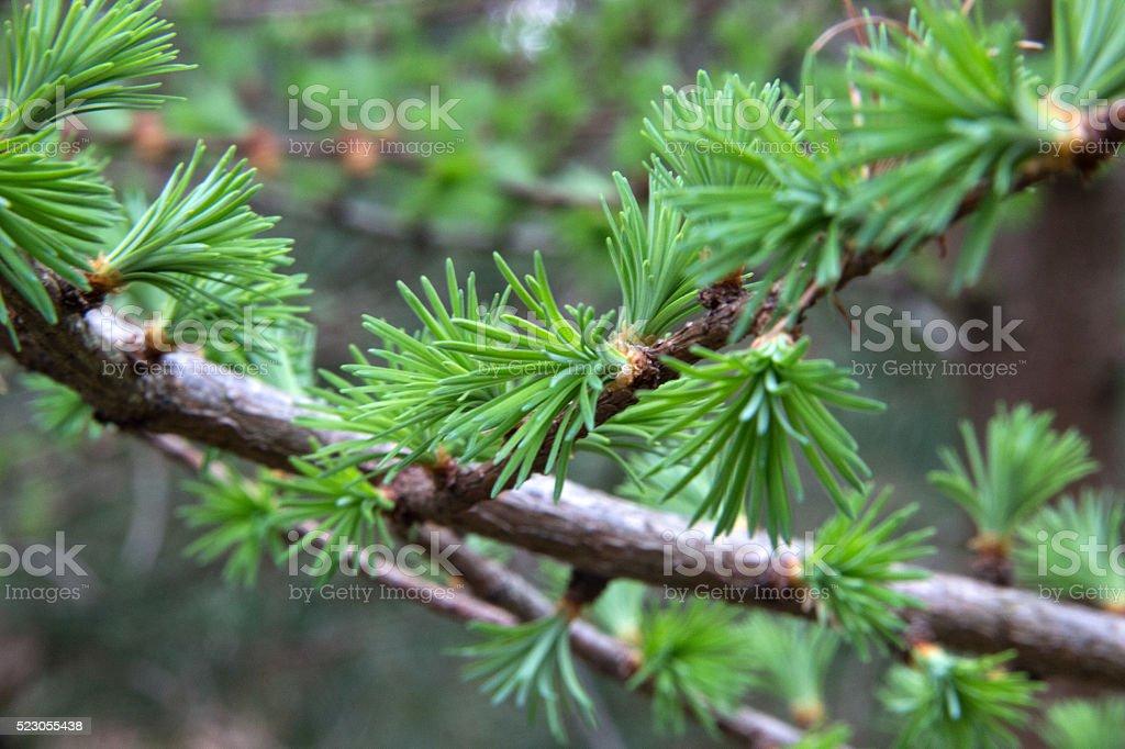 Kleiner Lärchenzweig - Little larch branch stock photo