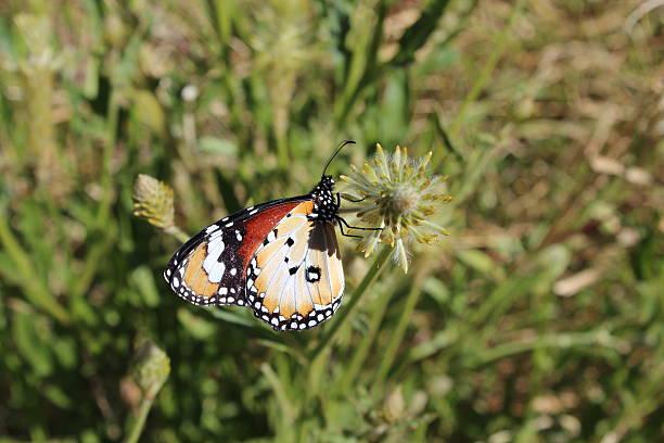 Kleiner Monarch mit geschlossenen Flügeln stock photo