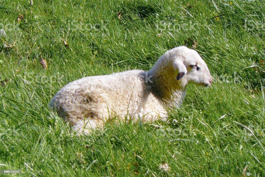 Kleines Lamm auf Wiese ohne Mutterschaf stock photo