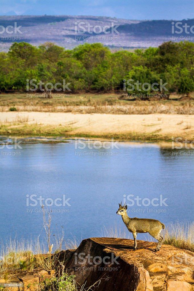 Klipspringer in Kruger National park, South Africa stock photo