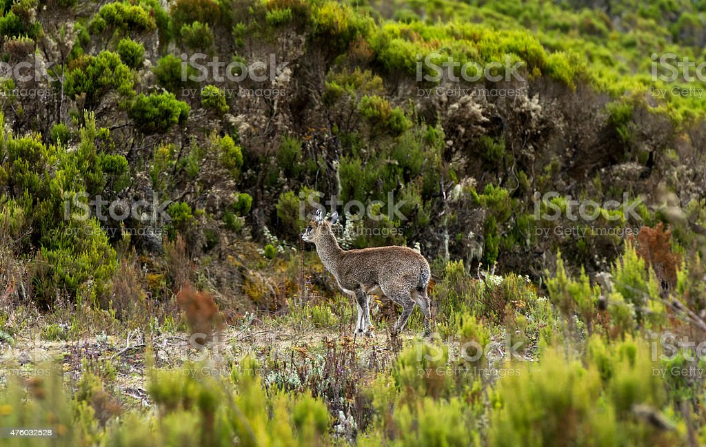 Klipspringer stock photo