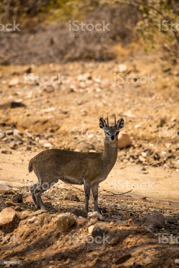 Klipspringer Standing next to Gravel Road in Savannah of South Africa, Mapungubwe Park stock photo