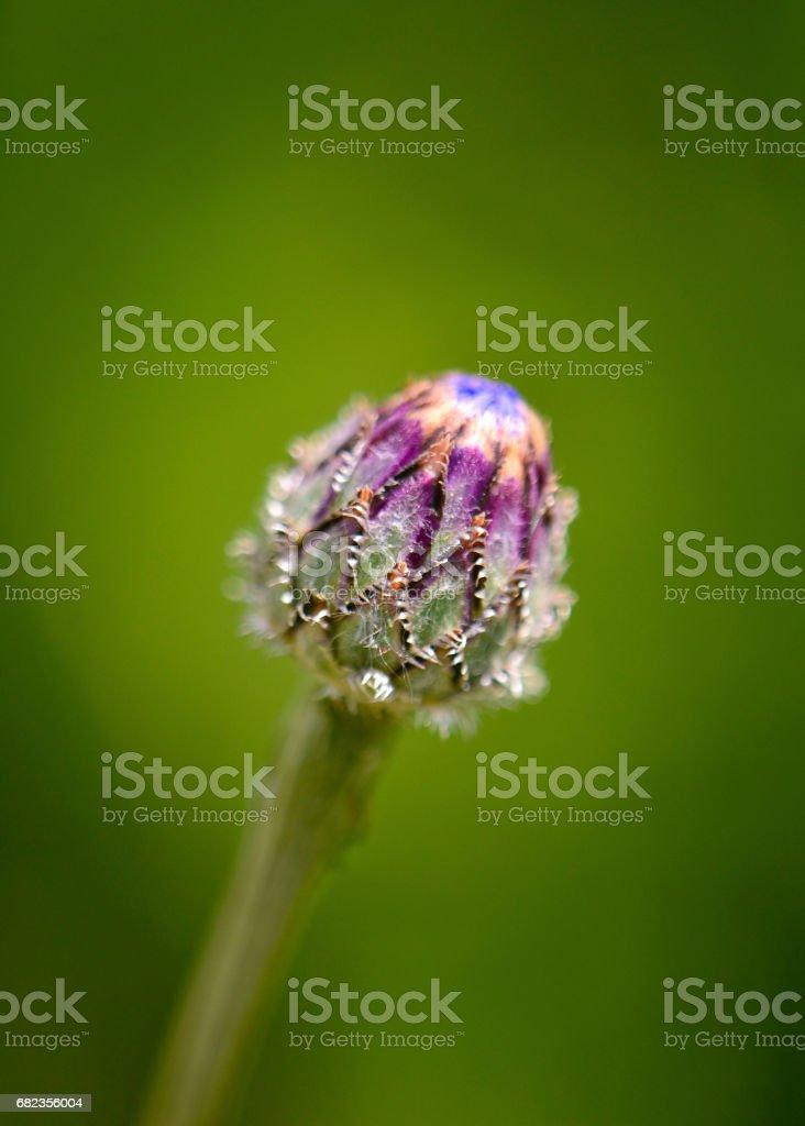 Bourgeon de fleur de centaurée photo libre de droits