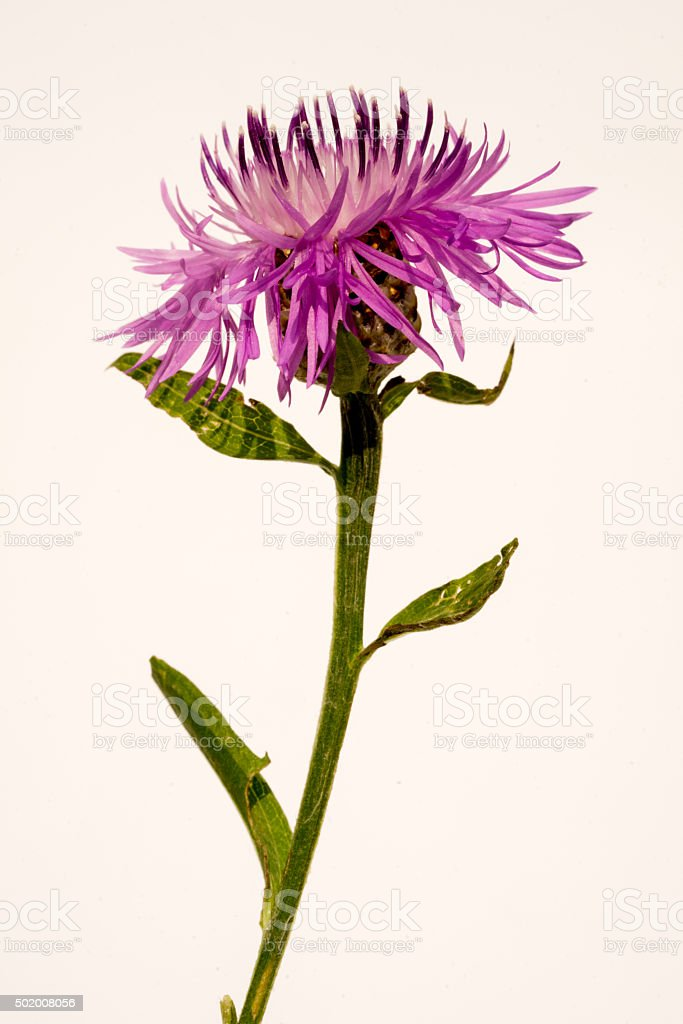 Knapweed flower on white stock photo