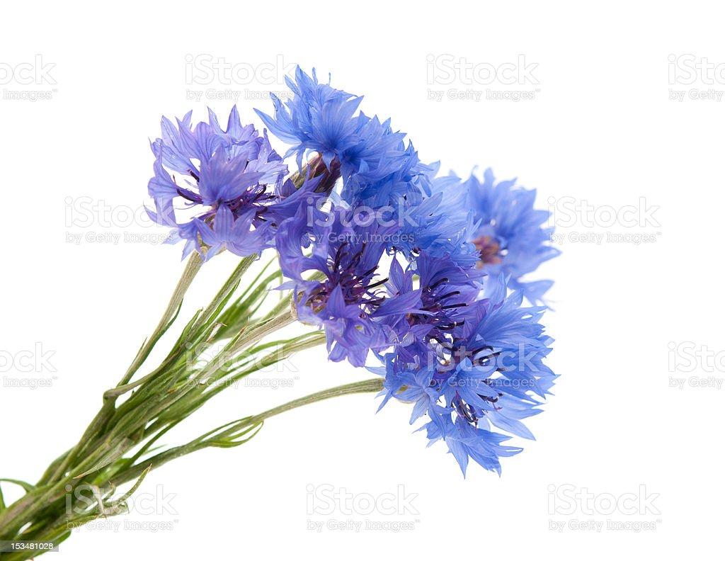 knapweed flower royalty-free stock photo
