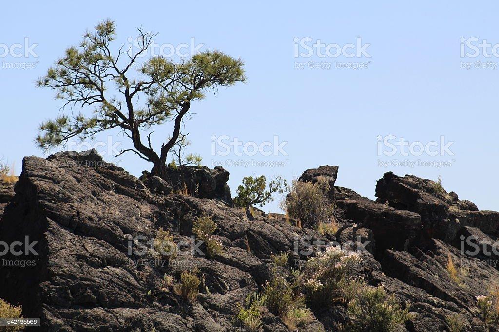 Knarly Juniper on Lava stock photo