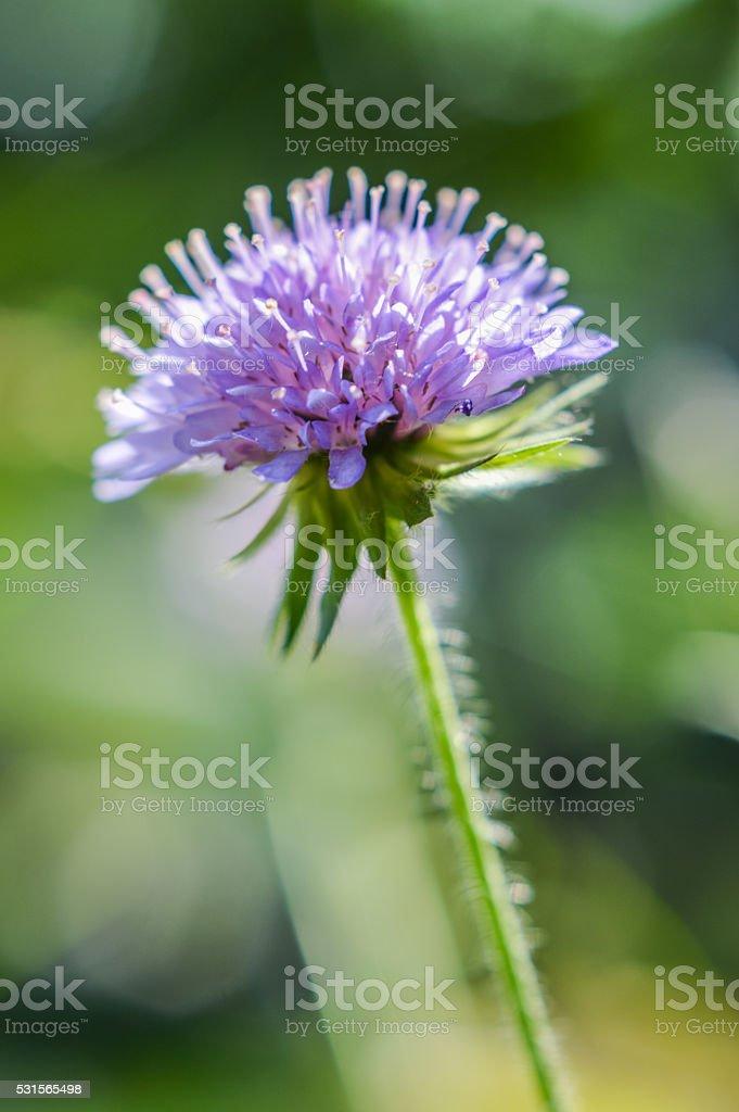 Knautia arvensis flower close up stock photo