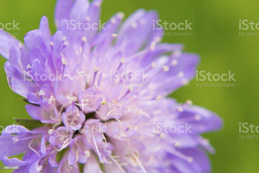 Knautia arvensis stock photo