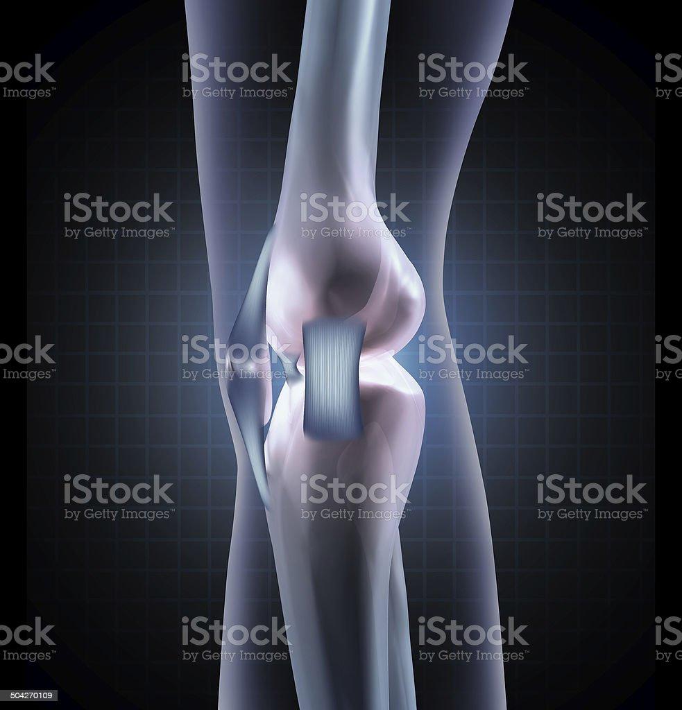 Knee Anatomy royalty-free stock photo