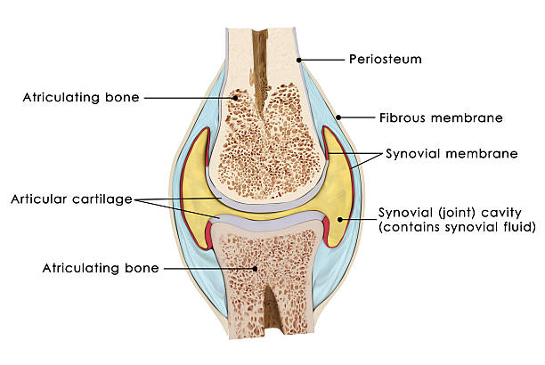 Knee bursae The bursae of the knee are the fluid sacs and synovial pockets that surround and sometimes communicate with the joint cavity. cartilage stock pictures, royalty-free photos & images