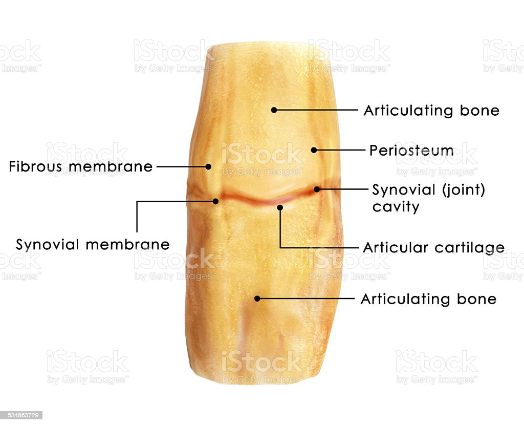 Knee Bursae Stock Photo Istock