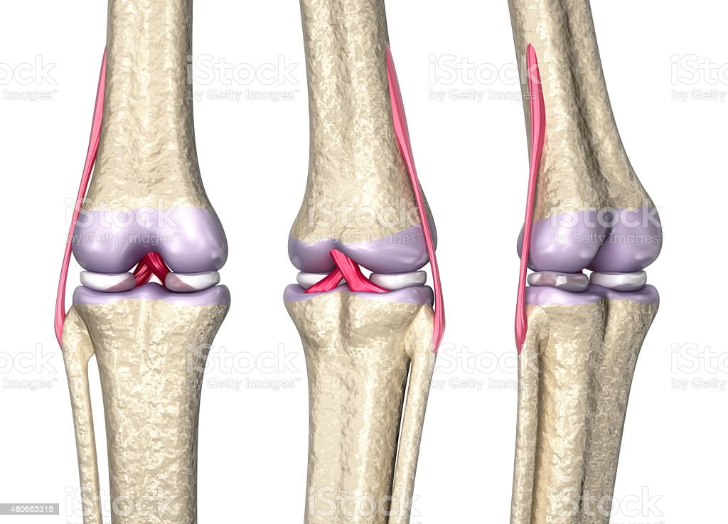 Knee joint anatomy, 3D model stock photo
