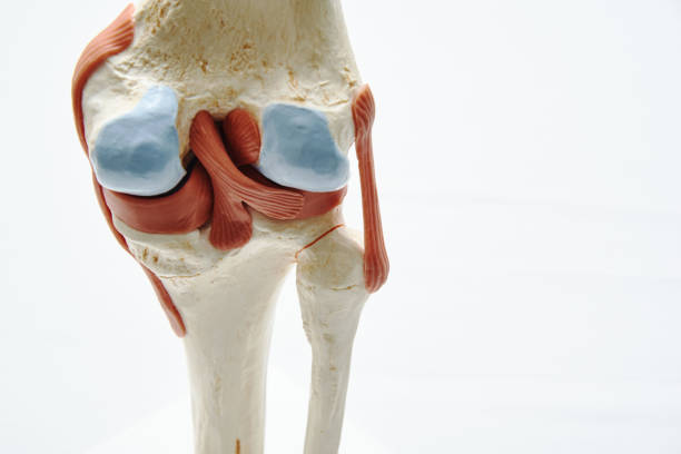 Knee joint model in medical office Close-up view of artificial human knee joint model in medical office cartilage stock pictures, royalty-free photos & images