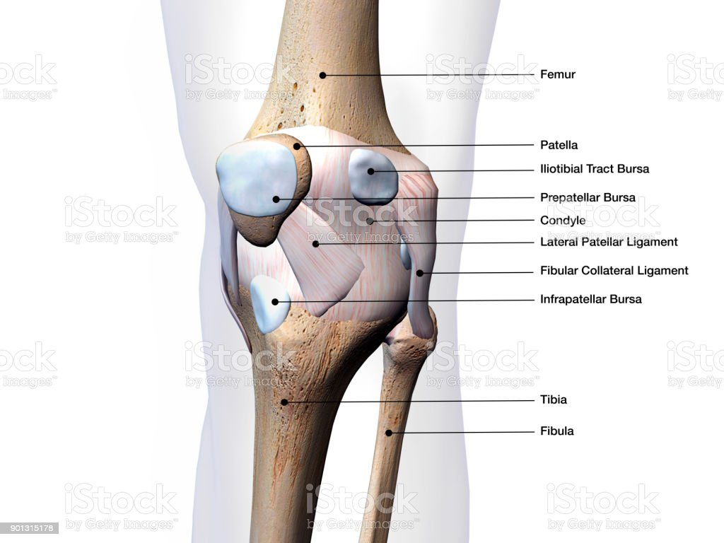 Knee Joint Parts Labeled On White Background Stock Photo & More ...
