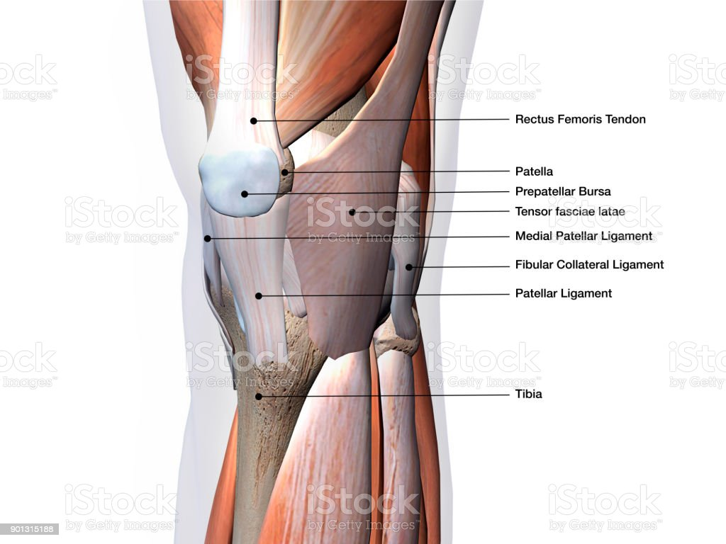 Knee Muscles And Ligaments Parts Labeled On White Background Stock